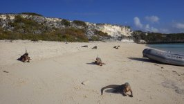 Iguanas at Bitter Guana Cay
